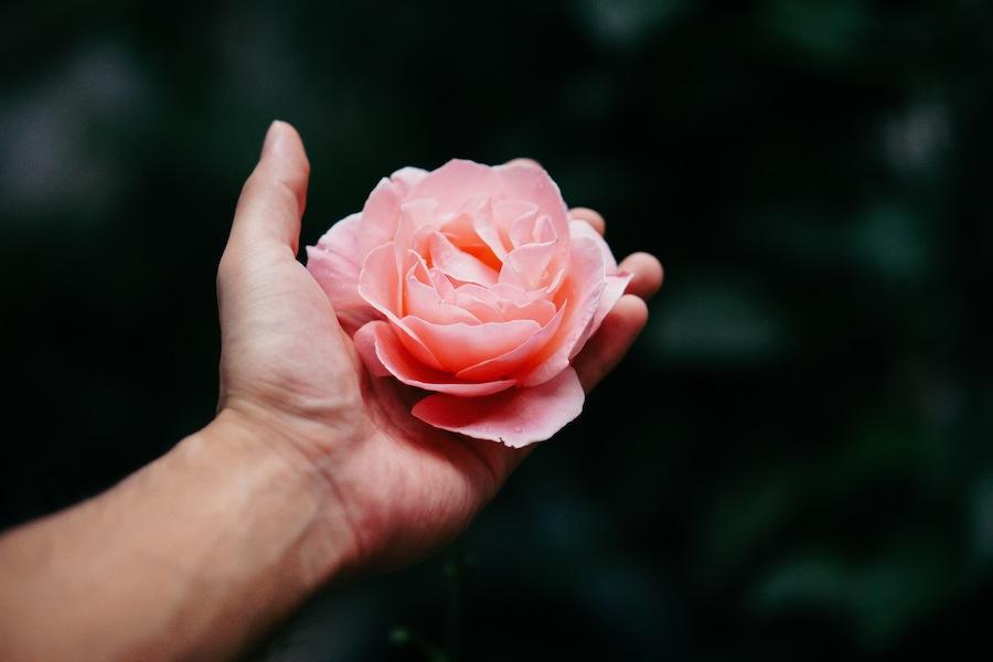 rosa ingrediente perfumes